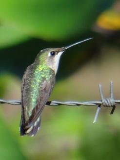 colibri-hembra-019