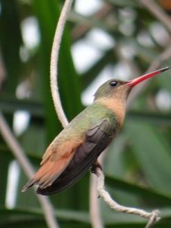 colibri-culiazul-005
