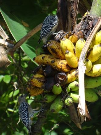 verdemar-coroso-y-bananitos-024